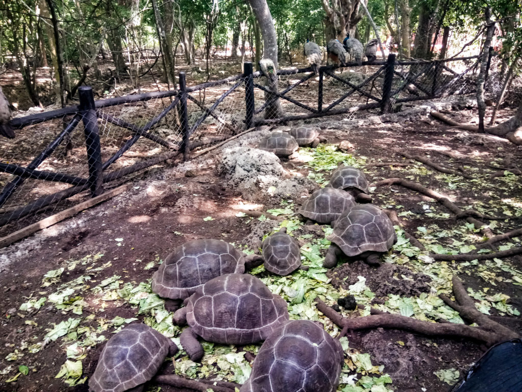 zanzibar tortoises